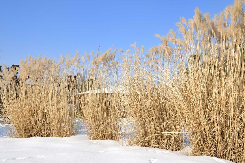 Trawa pampasowa - uprawa, pielęgnacja i inne porady