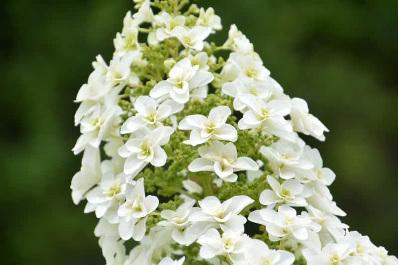 Białe kwiaty hortensji dębolistnej, a także hortensja dębolistna krok po kroku, kwitnienie, sadzenie, stanowisko, pielęgnacja i uprawa