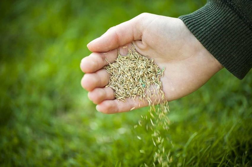Sianie trawnika najlepiej przeprowadzić mieszanką różnych gatunków, które należy rozłożyć na odpowiednie przygotowanym podłożu.