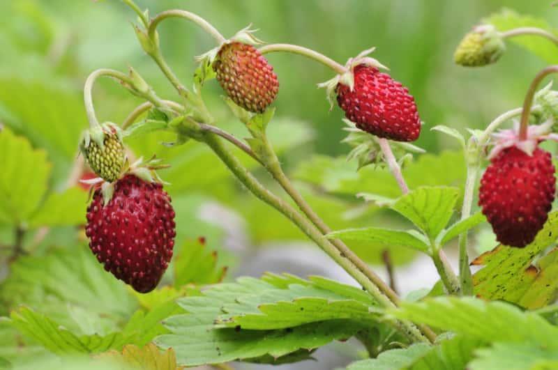 Owocująca poziomka w ogrodzie, a także uprawa, najlepsze i najsmaczniejsze odmiany, sadzenie krok po kroku