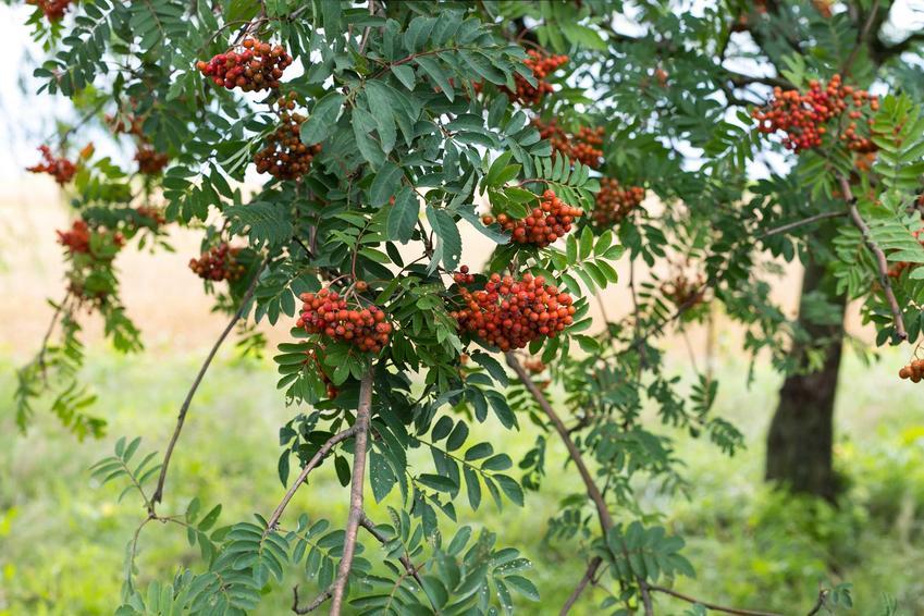 Jarząb pospolity, czyli jarzębina to ładne drzewko, które świetnie prezentuje się w ogordzie. Jest łatwe w uprawie i nie ma dużych wymagań.