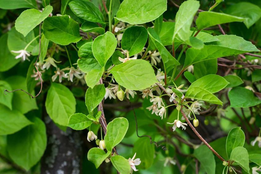 Cytryniec chiński to nie tylko praktyczna, lecz także bardzo atrakcyjna roślina. Dobrze sprawdza się w wielu ogrodach, ma ładne kwiaty i owoce, które mają zastosowanie lecznicze.