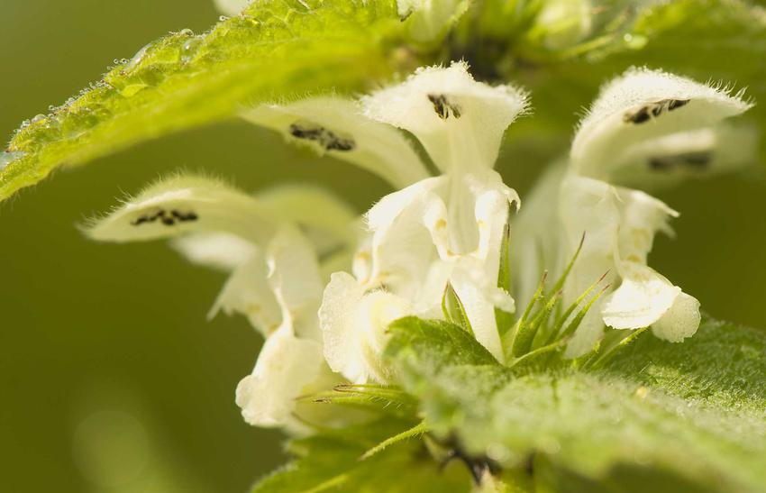 Herbata z jasnoty białej mają ogromne właściwości lecznicze i szerokie zastosowanie w medycynie i ziołolecznictwie. Herbatę parzy się z suszonych liści.
