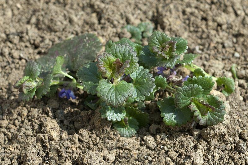 Bluszczyk kurdybanek - niewielka sadzonka wysadzona w ogrodzie o kilku rozwiniętych kwiatkach ułożonych na tle ciemnozielonych, bujnych liści