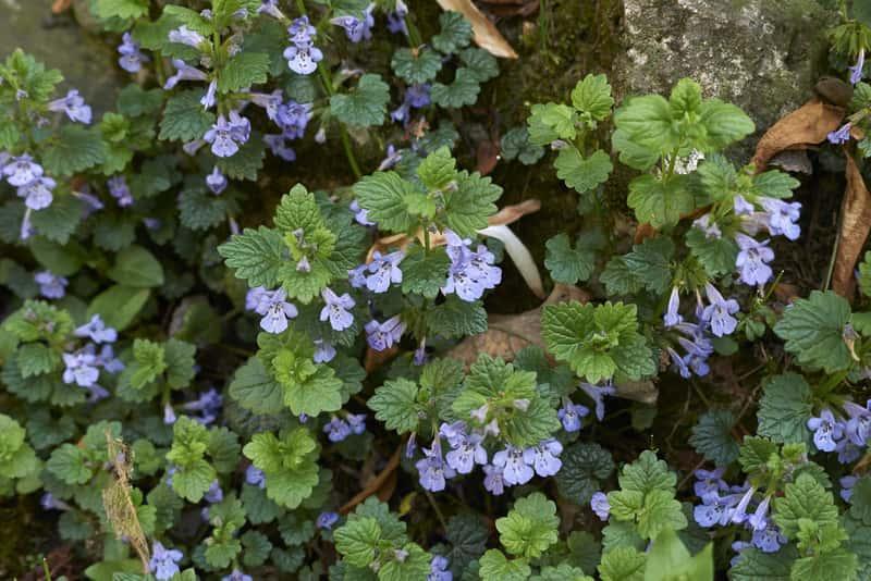 Bluszczyk kurdybanek o fioletowych kwiatach i niskim pokroju, a także zastostowanie, właściwości lecznicze i dawkowanie