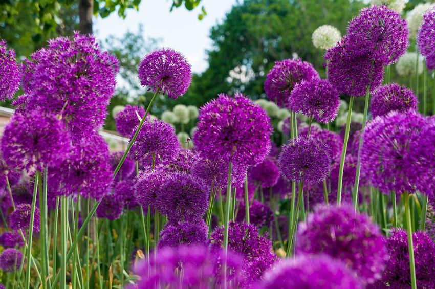 Czosnek ozdobny ma niewielkie wymagania uprawne. Dobrze sprawdza się w podłożu różnego rodzaju, pięknie kwitnie w podłożu o lekko kwaśnym pH.
