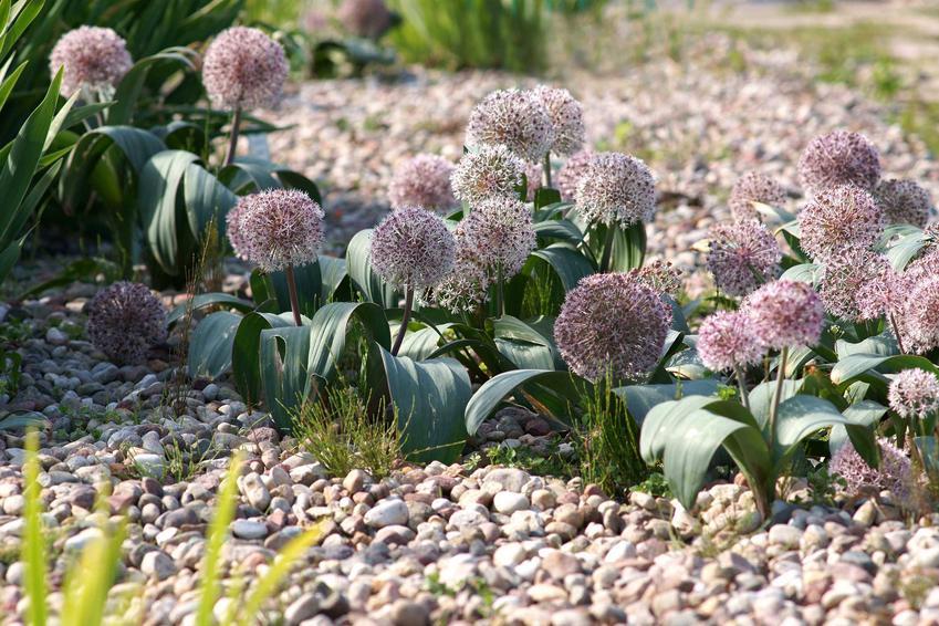 Czosnek ozdobny w odmianach karłowatych jest bardzo atrakcyjny i świetnie prezentuje się na rabacie. Jego kwiaty są okazałe, ale pojawiają się na krótkich łodygach.
