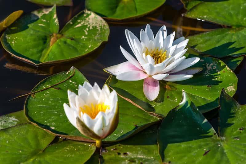 Lilia wodna w oczku wodnym o dużych, białych kwiatach, a także pielęgnacja, sadzenie, prawidłowa uprawa oraz zimowanie