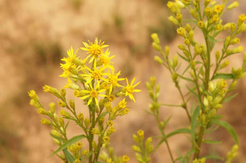 Kwiaty nawłoci pospolitej, nazywanej też polską mimozą, uprawa, sadzenie, pielegnacja oraz właściwości lecznicze i zastosowanie