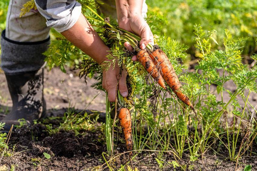 Uprawa marchwi wczesnej w ogrodzie. Sianie i hodowla nie są trudne, roślina jest łatwa w pielęgnacji.