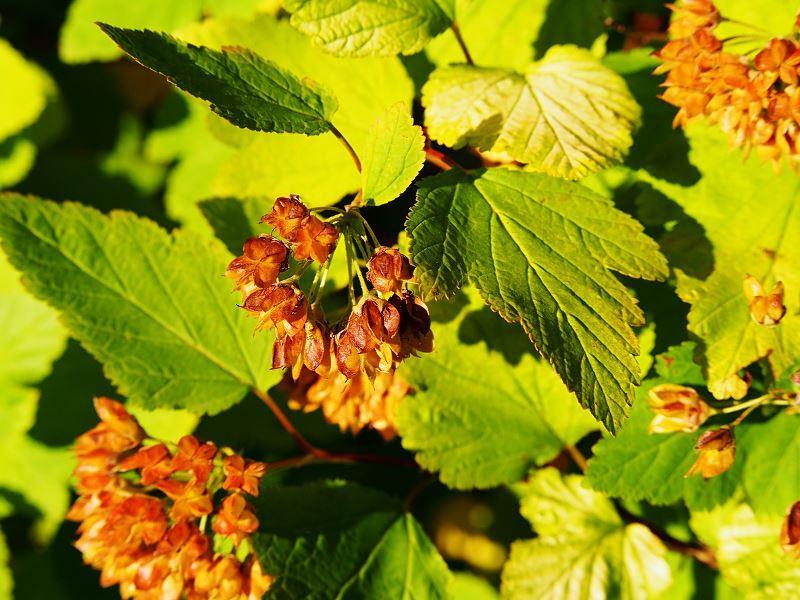 Pęcherznica kalinolistna to roślina o bardzo ozdobnych liściach. Wytwarza niewielkie grona ciekawych kwiatostanów i owoców.