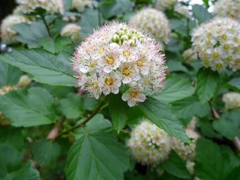 Pęcherznica kalinolistna o ciekawych kwiatostanach, a także uprawa, pielęgnacja oraz cięcie i podlewanie krok po kroku