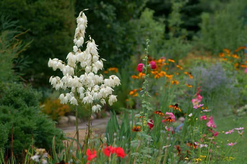 Juka karolińska w czasie kwitnienia na biało, a także juka karolińska w ogrodzie, jej sadzenie, uprawa, pielęgnacja oraz ceny sadzonki