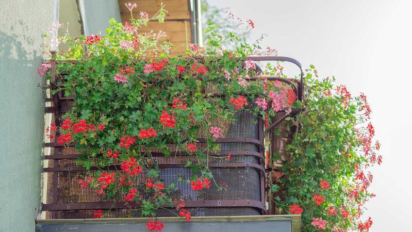 Pelargonia kaskadowa nie jest trudna w uprawie. Dobrze się sprawdza na płotach, balustradach i balkonach.