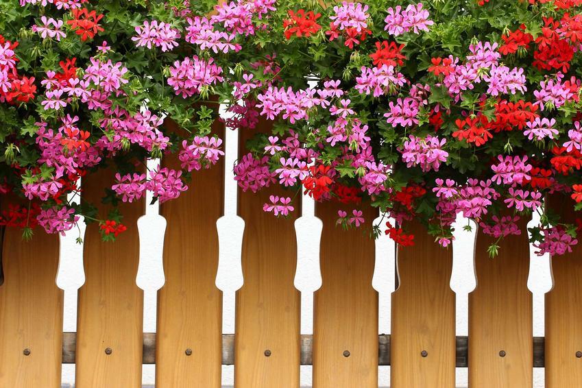 Pelargonie na balkonie wspaniale się prezentują, zwłaszcza odmiany kaskadowe. Są kolorowe, a ich uprawa jest łatwa