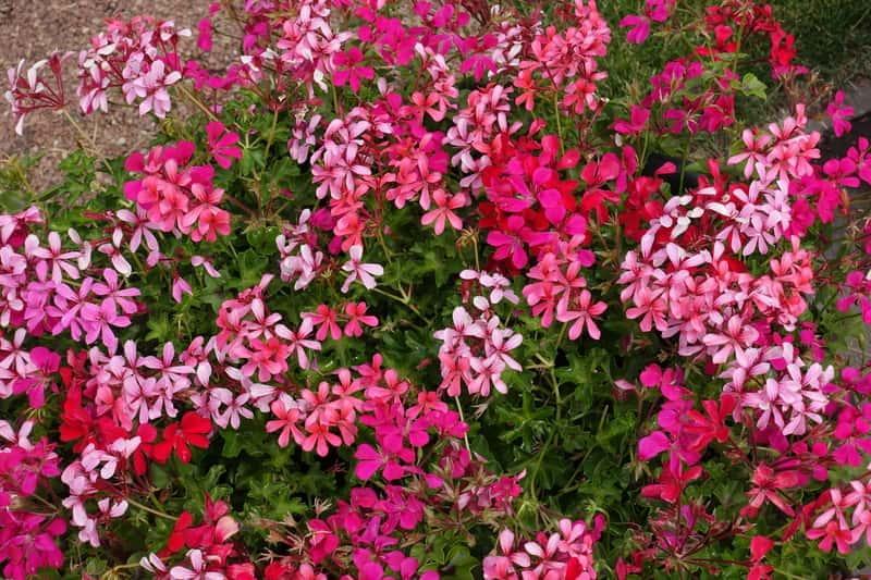 Pelargonia kaskadowa o ciemnoróżowych kwiatach, a także porady dotyczące uprawy i pielęgnacja pelergonii w doniczkach