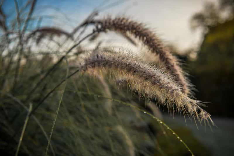 Rozplenica japońska o dużych kłosach w ogrodzie, a także sadzenie, pielęgnacja oraz uprawa trawy ozdobnej na rabacie