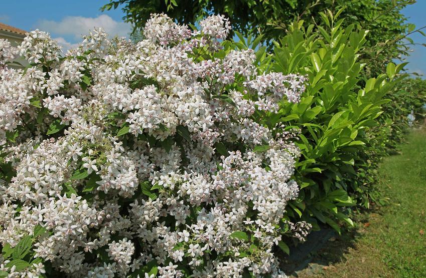 Żylistek w ogrodzie zachwyca swoimi pięknymi kwiatami, które bardzo gęsto oblepiają całe pędy. To duży krzew, który wspaniale wygląda na tle zielenii ogrodowej.