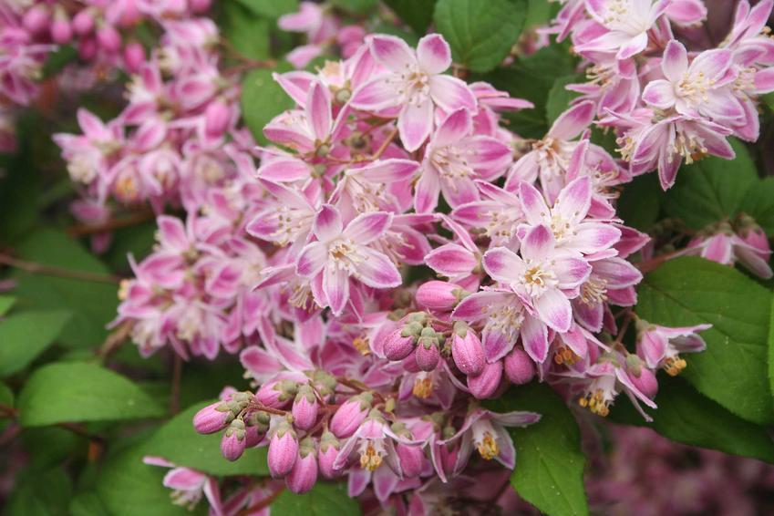 Żylistek różowy to bardzo ciekawa odmiana o delikatnych, fantastycznie wybarwionych na różowo kwiatach. Są bardzo subtelne, gęsto pojawiają się na szczycie pędów, dzięki czemu rośliny wyglądają naprawdę zachwycająco