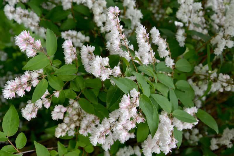 Żylistek - ciekawa roślina w ogrodzie, a także informacje: pielęgnacja, uprawa, rozmnażanie, sadzenie krok po kroku