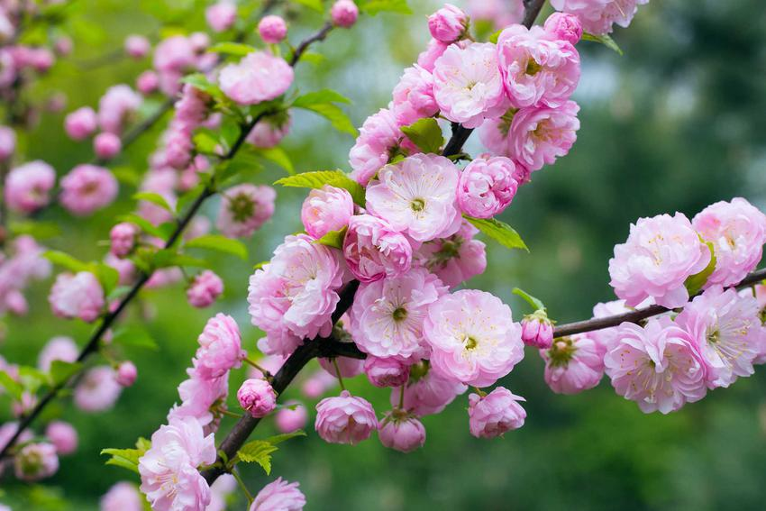 Migdałek w ogrodzie jest jednym z najbardziej atrakcyjnych krzewów ozdobnych. Kwitnie przez całą wiosnę, a jego uprawa i pielęgnacja nie jest trudna.