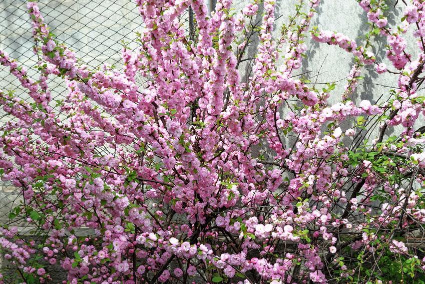 Kwiaty migdałka są urocze, różowe i dość długo się utrzymują. Rozmnażanie migdałka przeprowadza się za pomocą pobierania sadzonek pędowych.