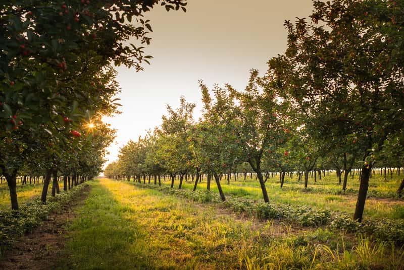 Drzewka owocowe w sadzie ułożone w szklapery, a także drzewa owocowe, które najlepiej się sprawdzają do ogrodu krok po kroku