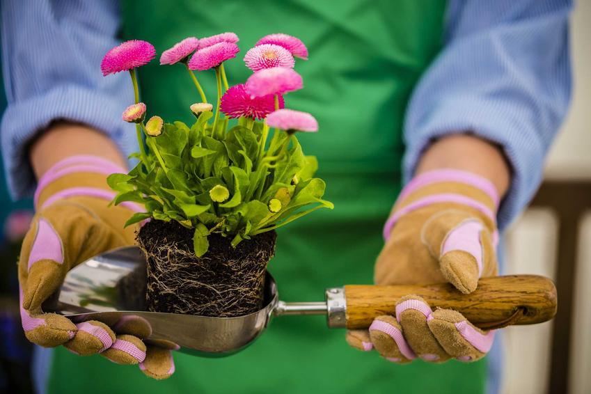 Stokrotki w ogrodzie, stokrotki w doniczce - te wpaniałe kwiaty dobrze sprawdzają się w Stokrotki w domu i ogrodzie – uprawa, pielęgnacja, wymagania, poradykażdych warunkach.