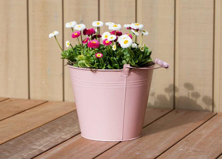 Stokrotki doniczkowe to bardzo ciekawe kwiaty. Ładnie się prezentują, mają przyjemne kolory i nie potrzebują szczególnej pielęgnacji. Uprawa stokrotek nie jest wymagająca.