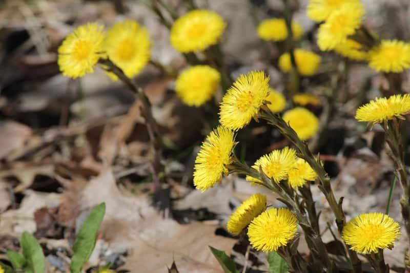 Podbiał pospolity z drobnymi żółtymi kwiatkami, a także sadzenie, pielęgnacja, uprawa oraz wymagania podbiału i właściwości rośliny
