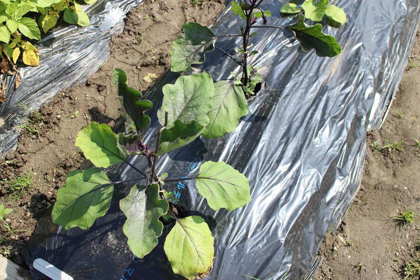 Uprawa bakłażana w Polsce nie zawsze się udaje. Roślina lubi ciepło, ale sadzonki pod folią dość dobrze się rozwijają i dają piękne owoce, więc można ją uprawiać w ogrodzie.