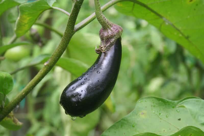Bakłażan rosnący na krzewie, a także uprawa w przydomowym ogródku oberżyn, pielęgnacja, wymagania krok po kroku