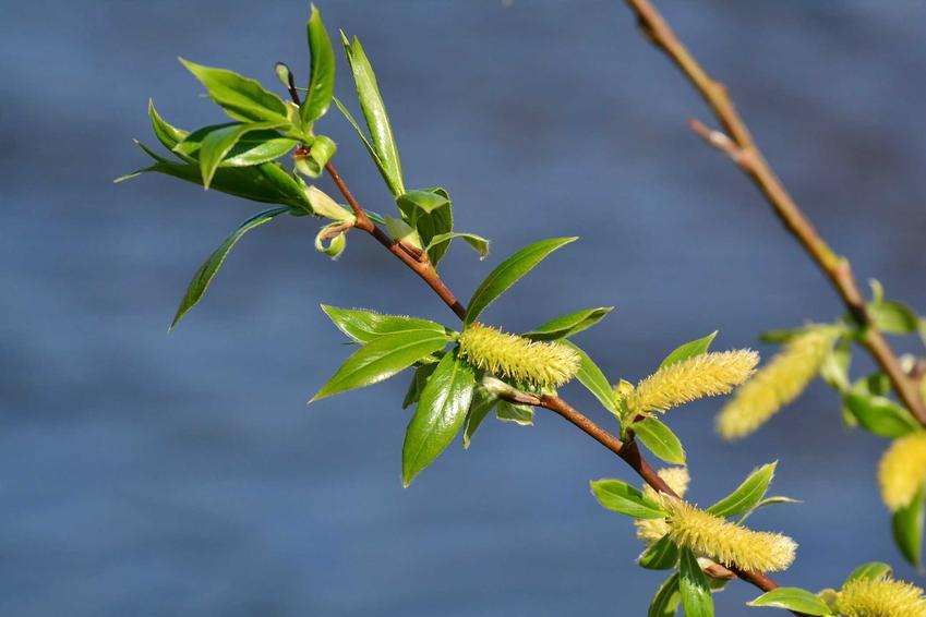 Wierzba Iwa w ogrodzie ma postać niewysokiego drzewka. Jej uprawa i pielęgnacja jest dość prosta, każdy możne posadzić tę uroczą roślinę na swoim podwórku.