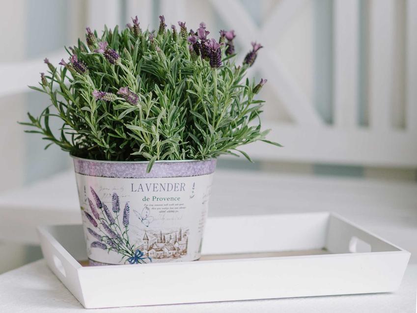 Lawenda francuska jest bardzo delikatna. Warto uprawiać ją zwłaszcza w doniczkach, nadaje się na balkon i czasami dobrze sprawdza się w ogrodzie.