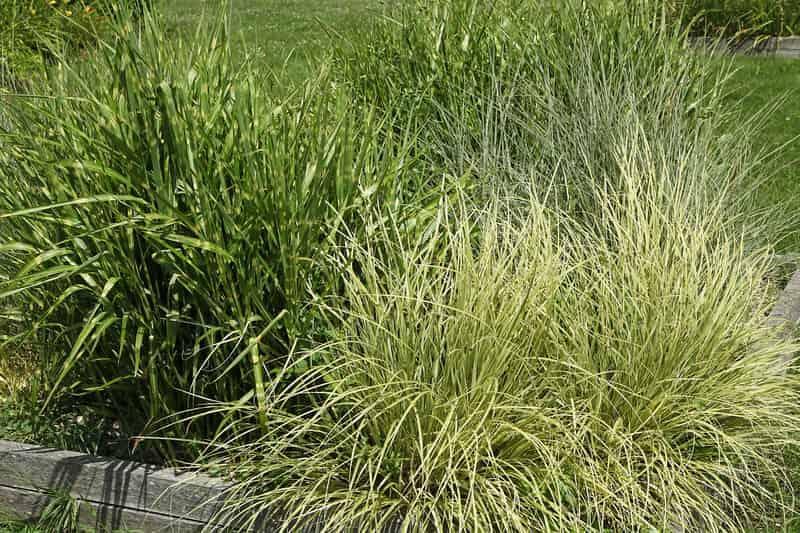Miskant chiński w ogrodzie, a także informacje o uprawie rośliny - najlepsze odmiany do ogrodu, pielęgnacja, zastosowanie, stanowisko
