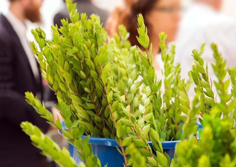 Liście mirtu zwyczajnego w doniczce, a także uprawa, pielęgnacja, najlepsze stanowisko, sadzenie oraz podlewanie krok po kroku