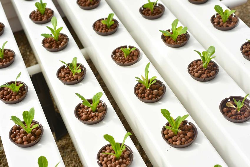 Uprawa hydroponiczna to nowatorski sposób uprawy roślin doniczkowych. Jest bardzo zaawansowany i pozwala na zrobienie sadzonek z nasion.