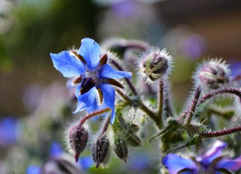 Kwiat ogórecznika lekarskiego, czyli Borago Officinalis, uprawa, pielęgnacja, sadzenie oraz własciwości lecznicze i zastosowanie