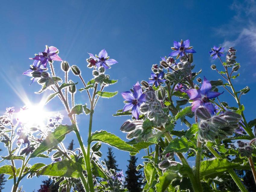 Ogórecznik lekarski to roślina o bardzo atrakcyjnych kwiatach i liściach. Ma bardzo duże właściwości lecznicze i bardzo szerokie zastosowanie.