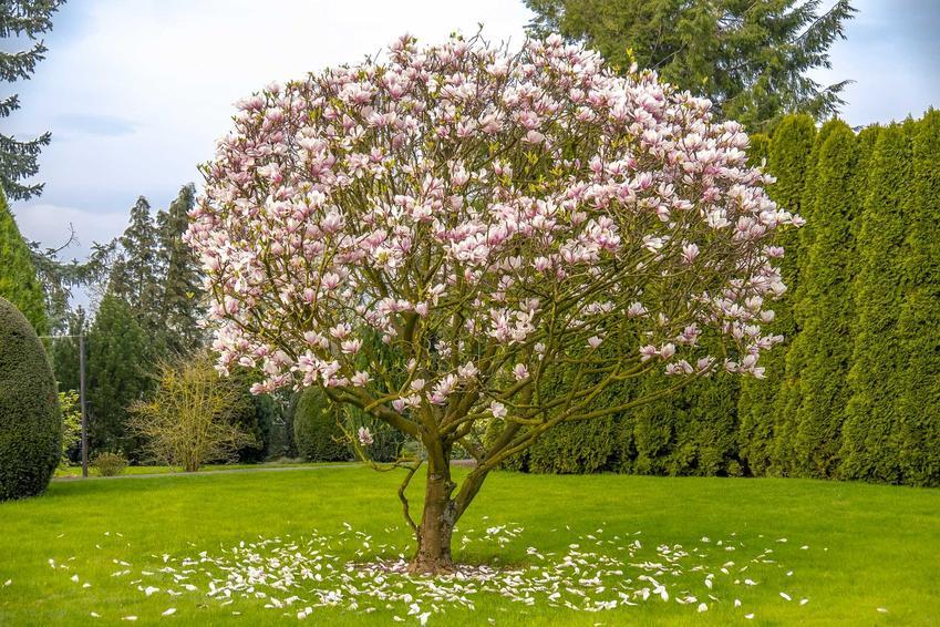 Uprawa magnolii Susan nie jest trudna i nie wymaga więcej niż inne odmiany. Wymagania nie są duże, a odmiana jest odporna na choroby.