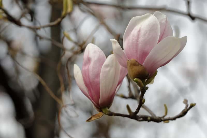 Kwiaty magnolii susany wczesną wiosną, czyli warunki uprawy, wymagania, sadzenie i pielęgnacja oraz walory dekoracyjne magnolii w ogrodzeie