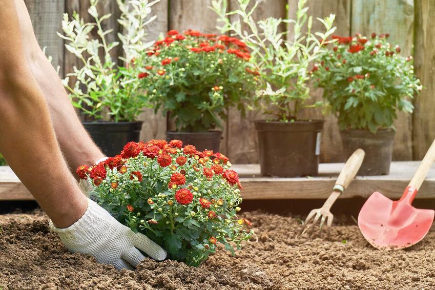 Złocień właściwy nie potrzebuje szczególnych warunków. Uprawa jest prosta, należy jednak pamiętać o regularnym podlewaniu.