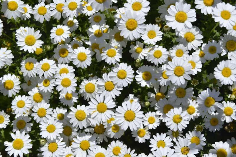 Złocień właściwy o delikatnych białych kwiatach o małym rozmiarze, a także uprawa, wymagania, właściwości i sadzenie