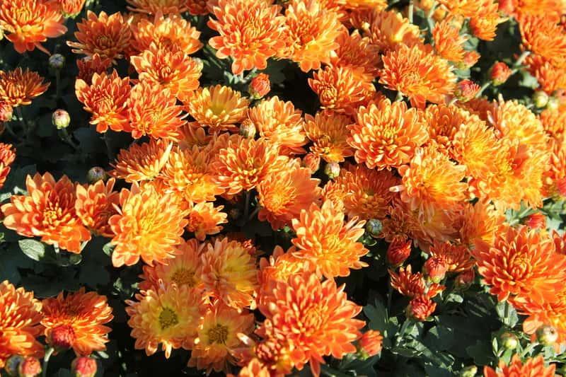 Pomarańczowe chryzantemy w ogrodzie na rabacie, a także uprawa i pielęgnacja oraz opis i zastosowanie wyjątkowej rośliny