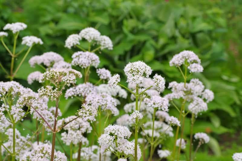 Kozłek lekarski w czasie kwitnienia na biało, a także uprawa w ogrodzie, sadzenie, pielęgnacja oraz właściwości lecznicze i zastosowanie