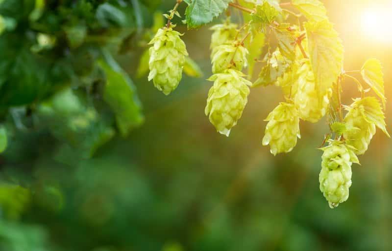Zielone szyszki chmielu rosnące na krzewie, a także samodzielna uprawa chmielu w ogrodzie, pielęgnacja i wymagania