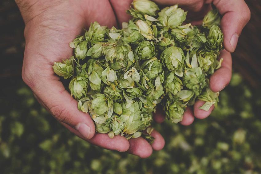 Chmiel można samodzielnie uprawiać w ogrodzie. Nadają się do wyrobu piwa, a uprawa nie jest trudna ani wymagająca.