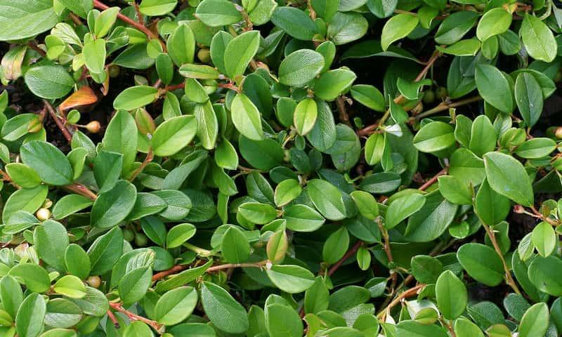 Irga Dammera Major o pięknych liściach, a także uprawa, pielęgnacja, rozmnażanie, cena oraz rozstawa rośliny krok po kroku