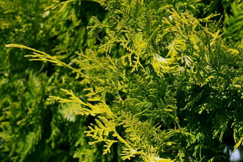 Zielone liście tui, a także ceny tui krok po kroku, czyli ile kosztują sadzonki tui różnego rodzaju i różne odmiany