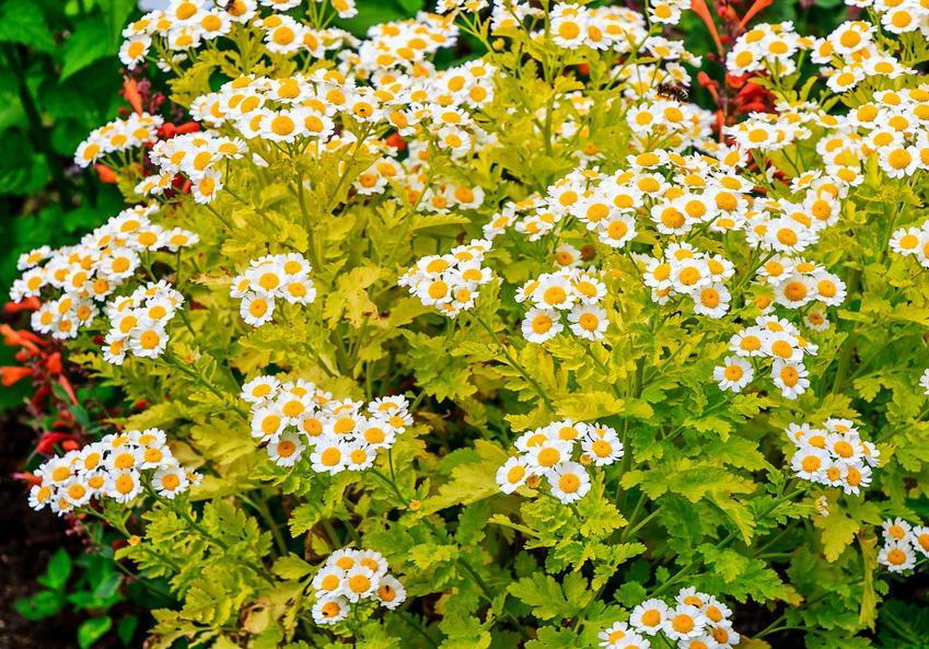 Złocień maruna to roślina o łatwiej pielęgnacji. Jej liście i kwiaty mają właściwości lecznicze i bardzo szerokie zastosowanie. Roślina pięknie wygląda w ogrodzie.
